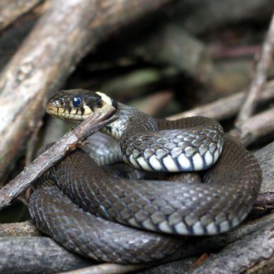 Schlangen Portugal Biss