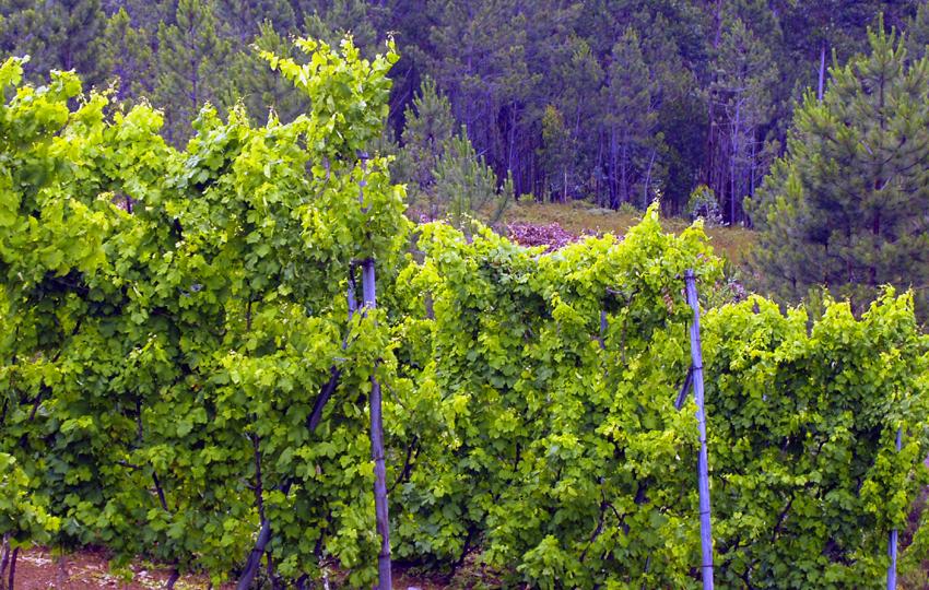 Wein Dao Portugal Vinho Verde